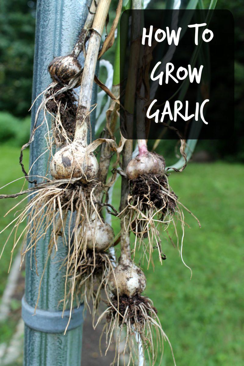 how-to-grow-garlic